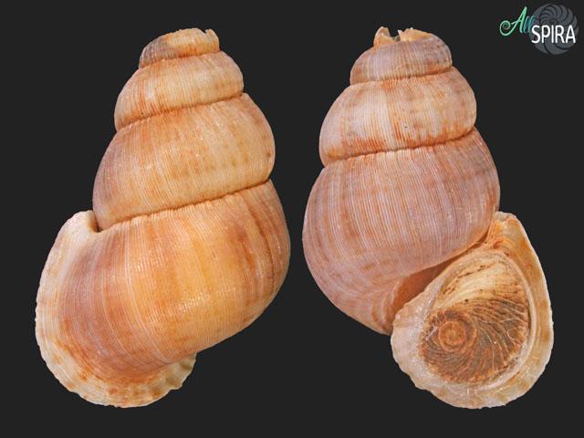 Chondropoma pumilum