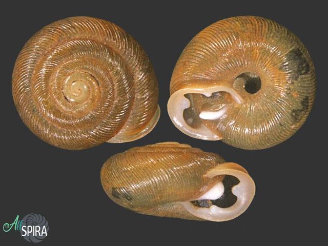 Triodopsis alabamensis