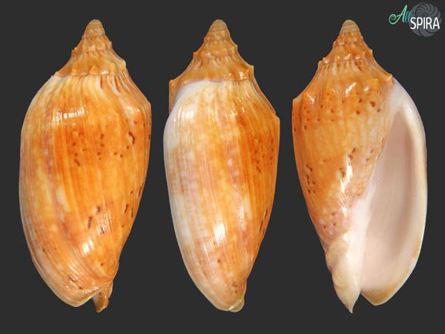 Cymbiola moretonensis