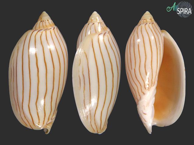 Amoria jamrachii