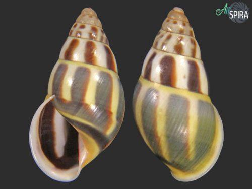 Amphidromus aff fuscolabris