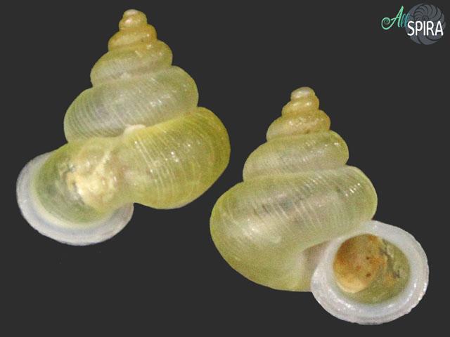 Alycaeus costacrassa