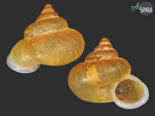 Alycaeus charasensis