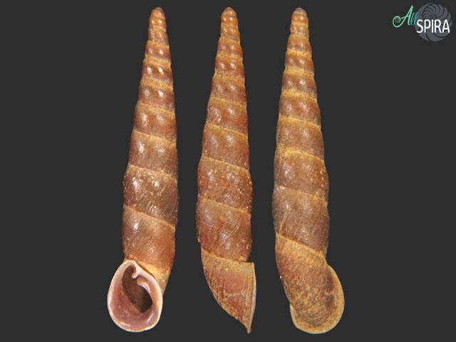 Phaedusa kelantanensis