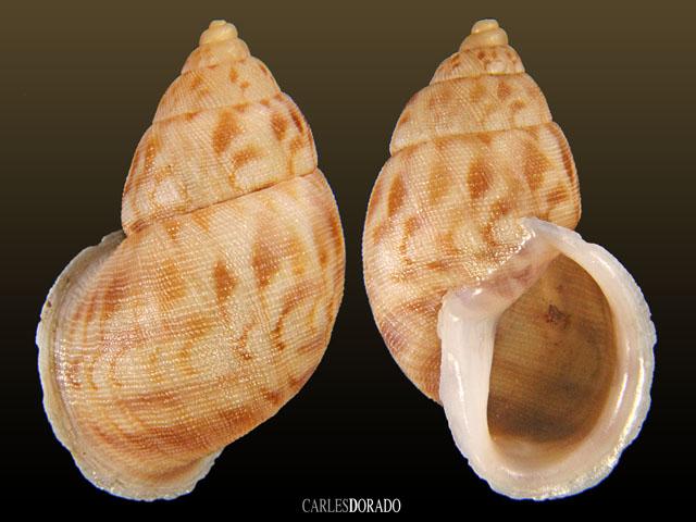 Neopetraeus catamarcanus