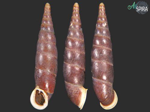 Hemiphaedusa kanaganensis