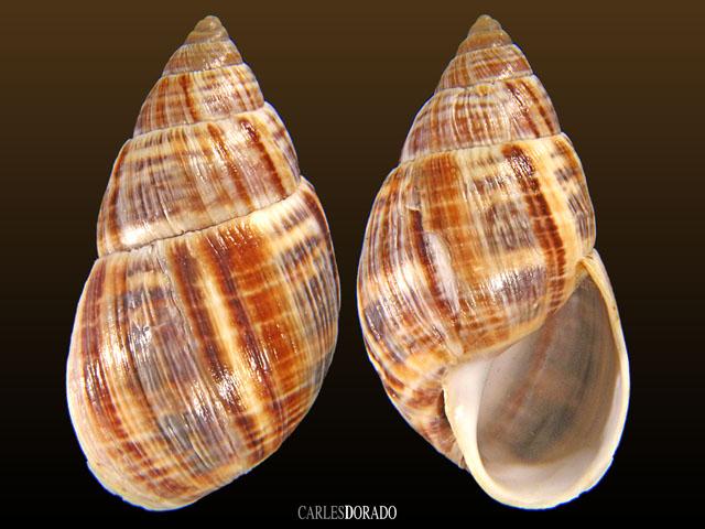 Scutalus alaudus hendeensis