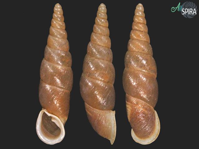 Phaedusa lypra naponensis