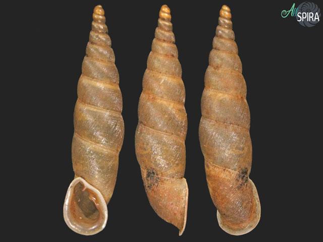 Phaedusa filicostata var