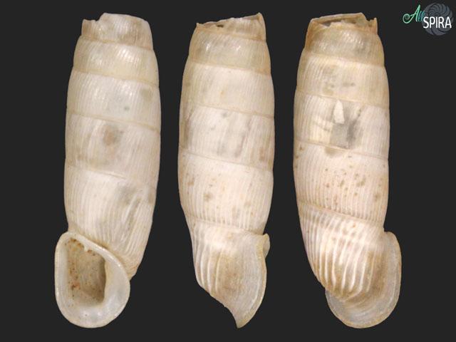 Albinaria christae