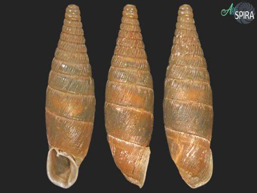 Euxina achrafensis