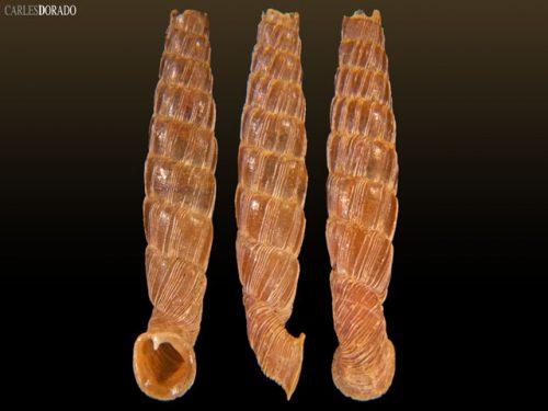 Gracilinenia filocostulata