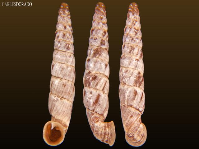 Incaglaia pampasensis