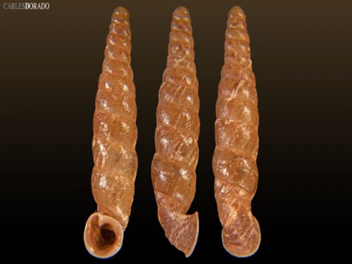 Incaglaia pampasensis var