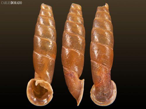 Peruinia tingamariae