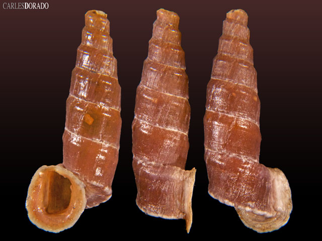 Zilchiella scala