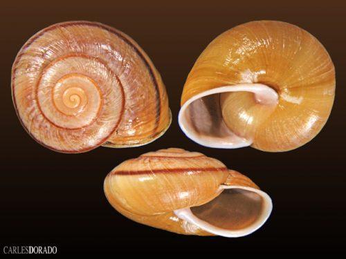 Epiphragmophora higginsi