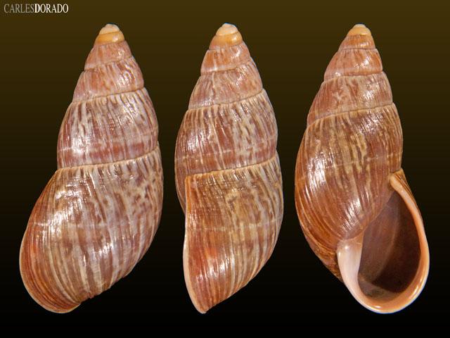 Thaumastus bambamarcaensis