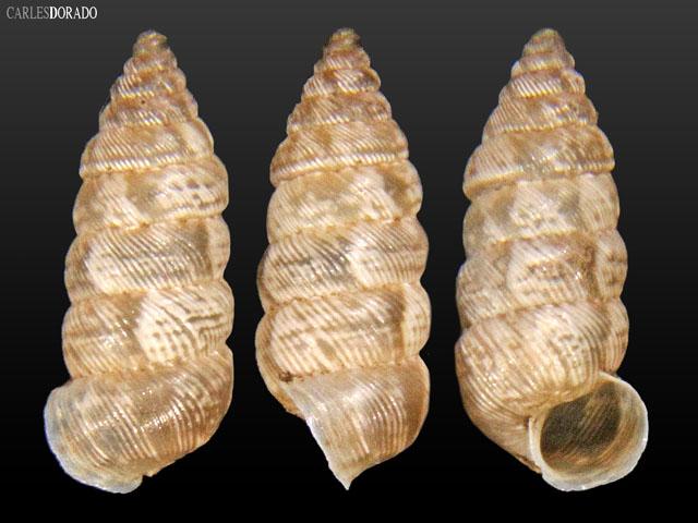 Microceramus texanus