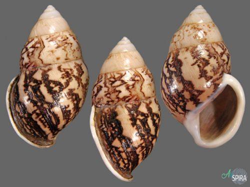 Amphidromus asper