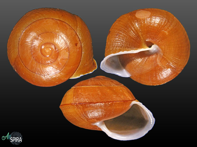 Camaena diepae