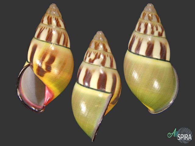 Amphidromus daoae