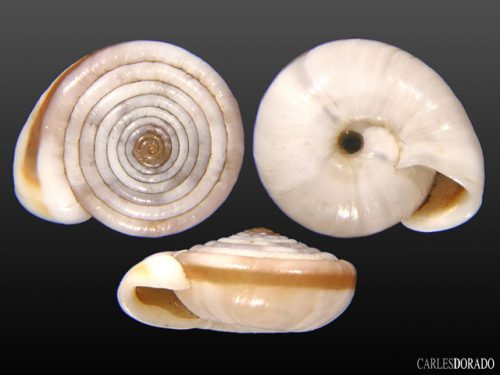 Laeocathaica cf polytyla