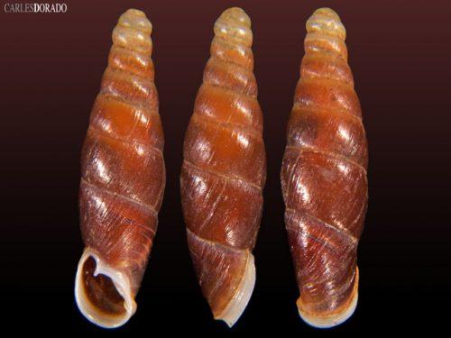 Oospira smithi