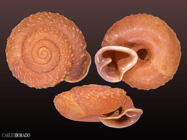 Moellendorffia spurca