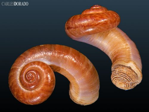 Cyclophoridae