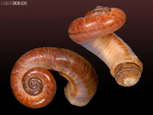 Rhiostoma chupingense