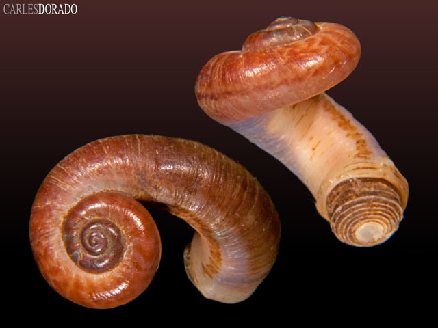 rhiostoma-chupingense