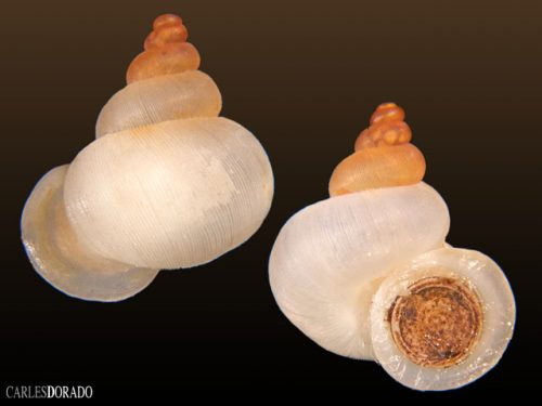Alycaeus distortus