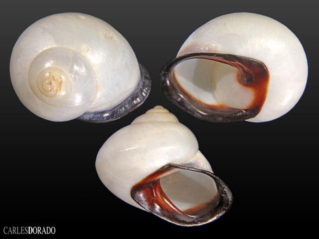 Letitia brumeriensis