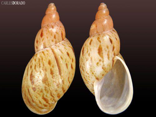 Placostylidae