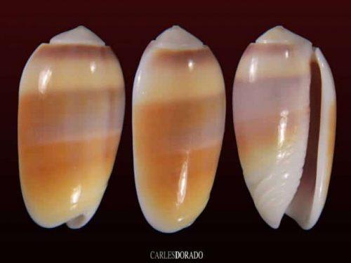 Oliva carneola f. trichroma