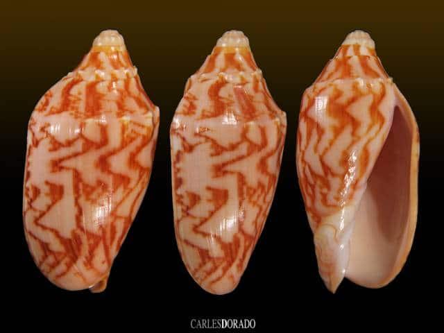 Cymbiola vespertilio samar form