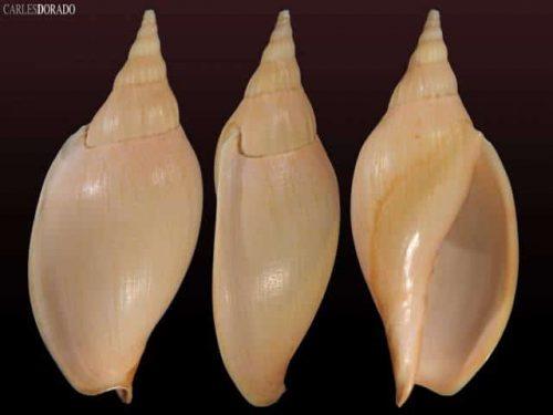 Alcithoe larochei