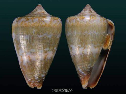 Conus irregularis