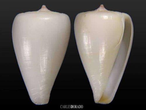 Conus josephinae white