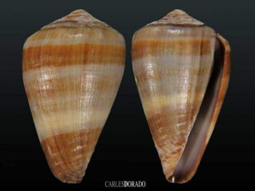 Conus fontonae