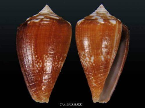 Conus vulcanus