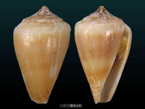 Conus raulsilvai