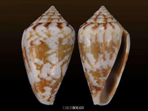 Conus damottai damottai