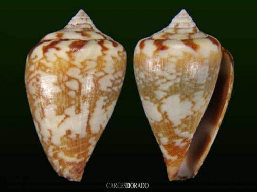 Conus derrubado