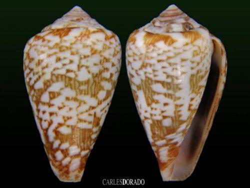 Conus damottai galeao
