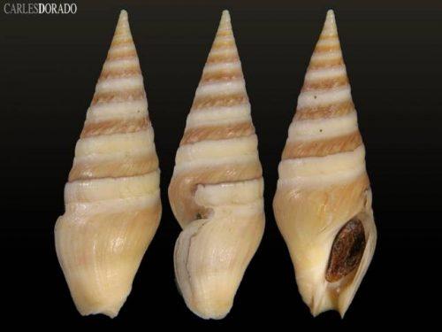 Toxiclionella impages