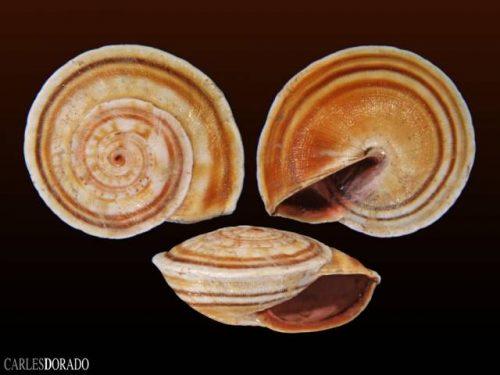 Theba subdentata helicella