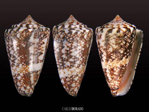 Conus locumtenens