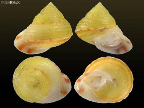 Eutrochatella chittyana